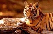 tigre 183x116 - Reiki Tigre