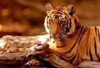 Reiki Tigre 1