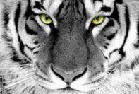 tigre bianca 197x133 - Macan Sakti