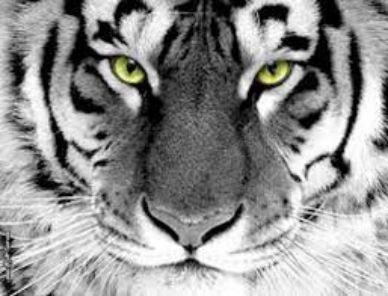 tigre bianca - Macan Sakti