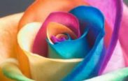 rosa arcobaleno 183x116 - Chamaleon Rose Reiki