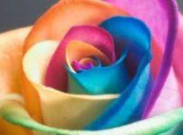 Chamaleon Rose Reiki 5