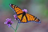Butterfly Arcangel Reiki 1