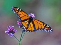 Butterfly Arcangel Reiki 2