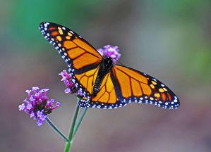 Monarch Butterfly (Danaus plexippus) by AcrylicArtist, on Flickr