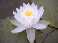 Lotus Healer 4