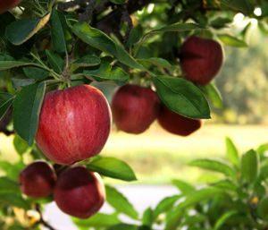 piante_da_frutto